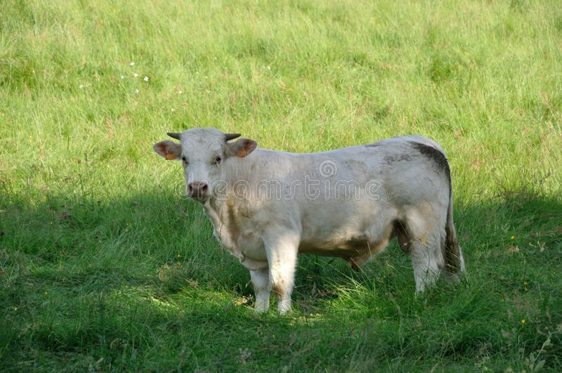 Cows in meadows. Normand cow in meadows stock image