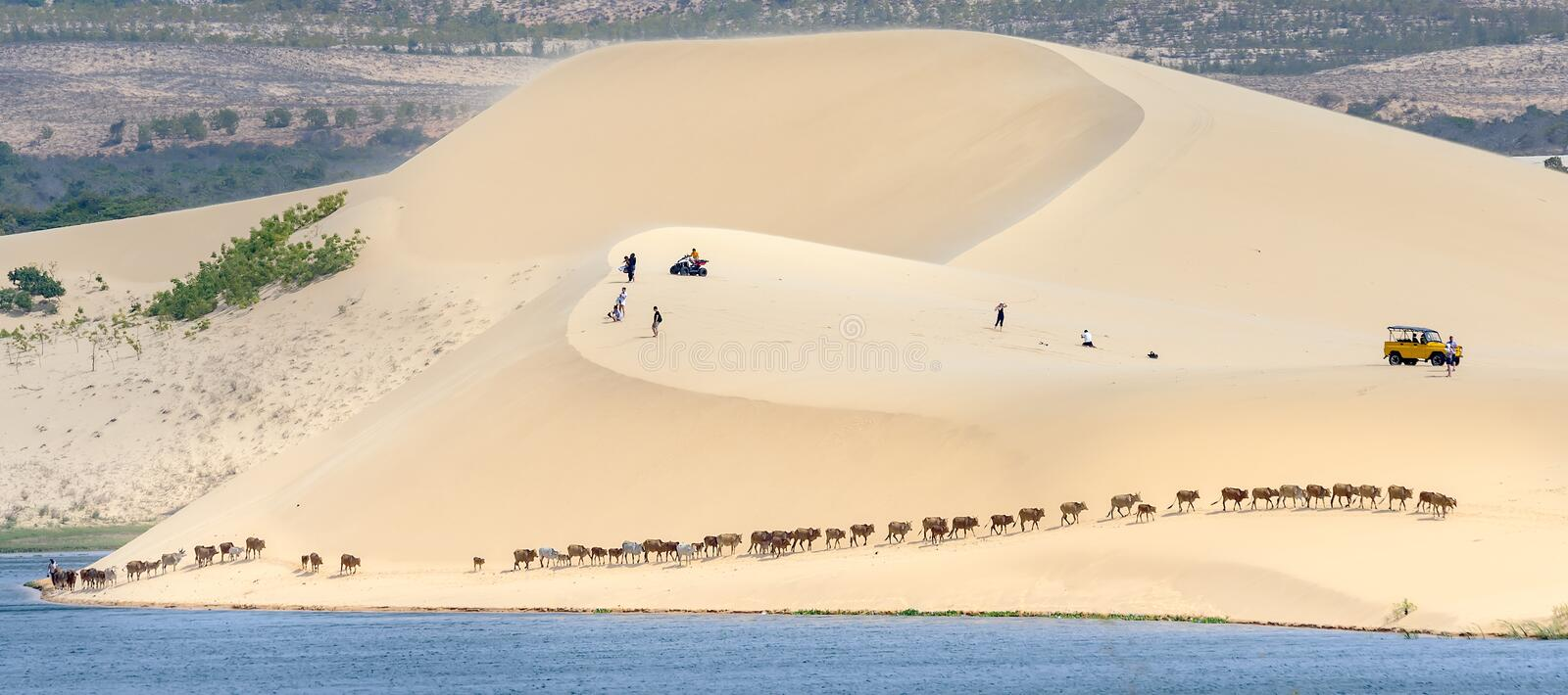 Cows migrate through the white sand hills. Muine, Vietnam - March 30th, 2017: Cows migrate through the white sand hills at noon in the amazement of visitors are royalty free stock photos