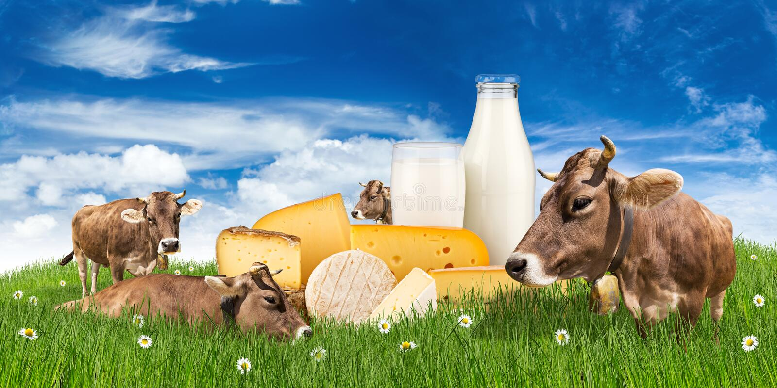 Cows with milk bottle and cheese on meadow royalty free stock images