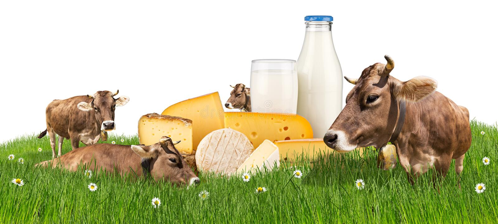 Cows with milk bottle and cheese on meadow stock photos