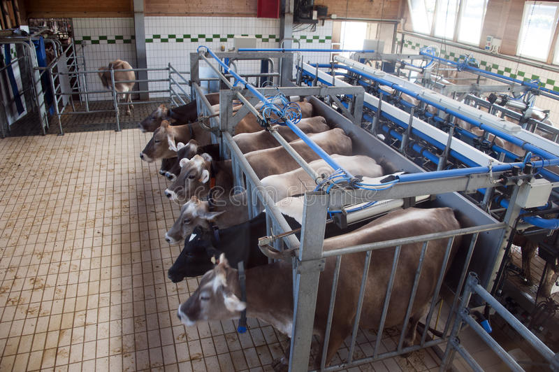 Download Cows milking stock image. Image of animals, facility - 28954445
