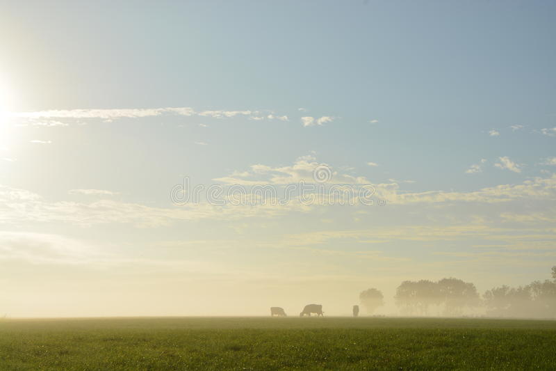 Cows in mist royalty free stock photos