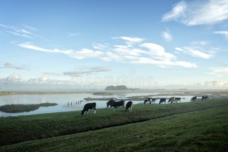 Cows on a misty morning stock photos