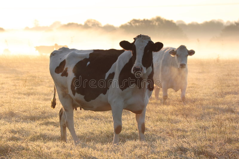 Cows in morning frosty mist. stock image