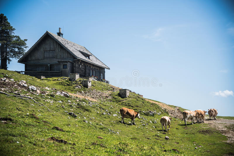 Cows in the mountain stock photography