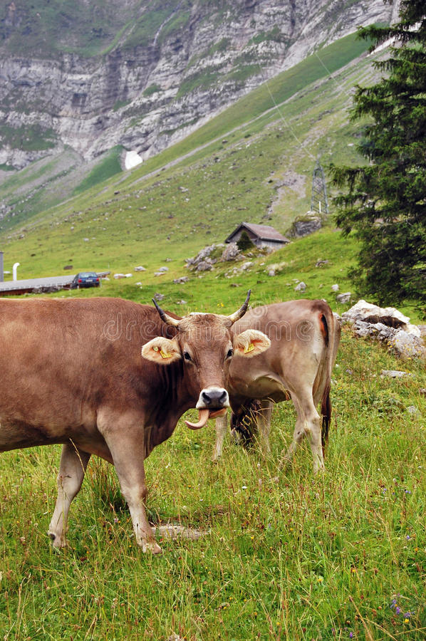 Cows on a mountain in Switzerland stock photography