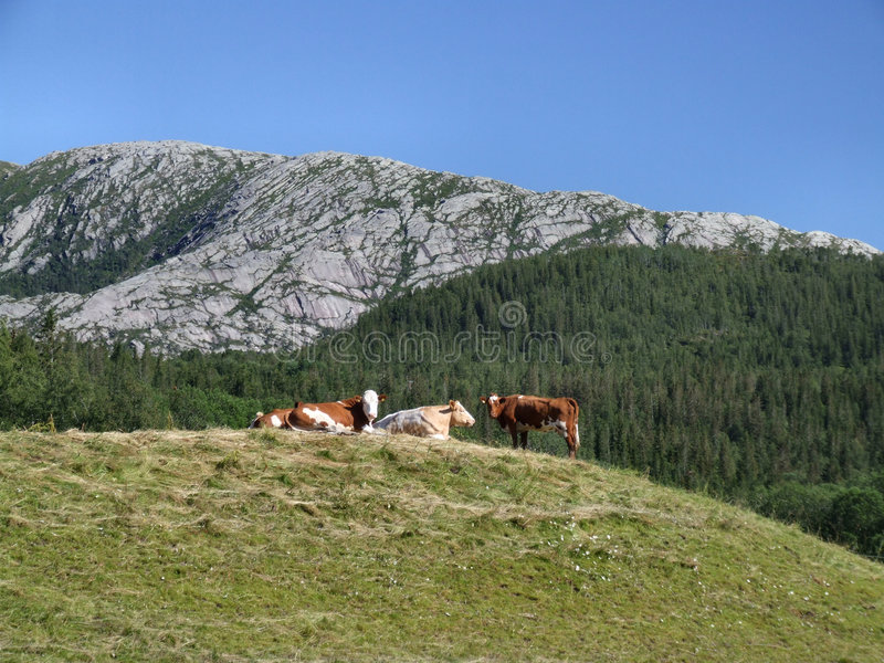 Cows in the mountains stock image
