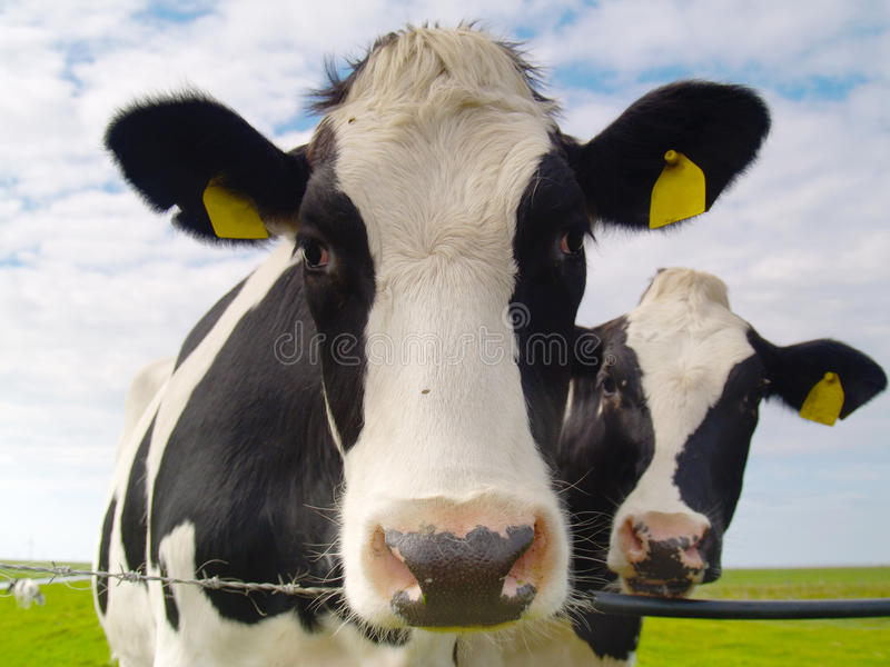 Download Cows on pasture stock image. Image of barbed, summer - 11981805