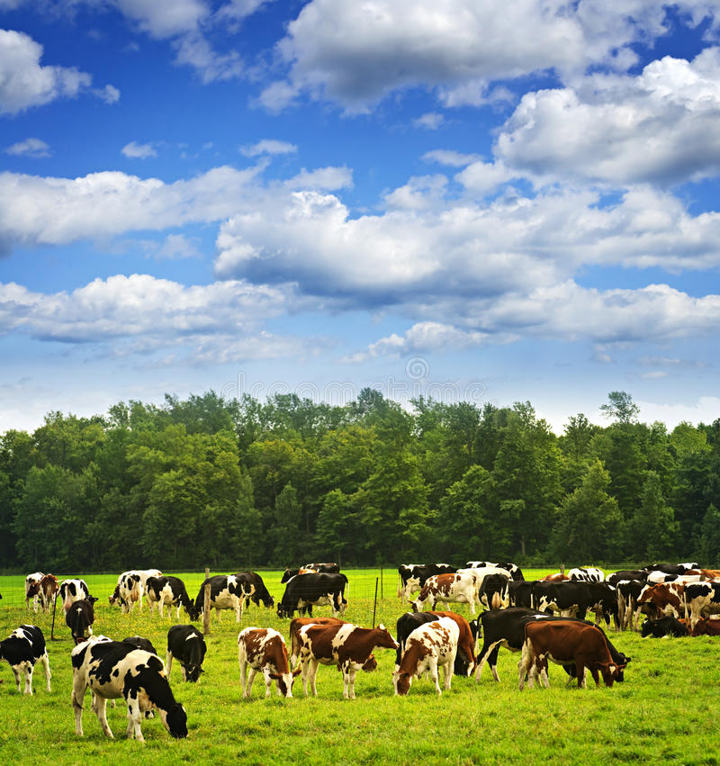 Cows in pasture royalty free stock image