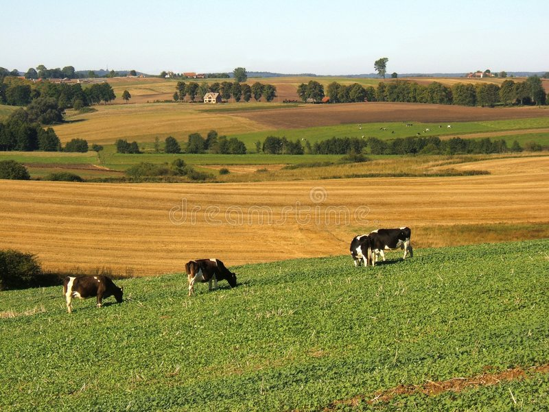 Download Cows on pasture stock image. Image of rural, farm, green - 1497173