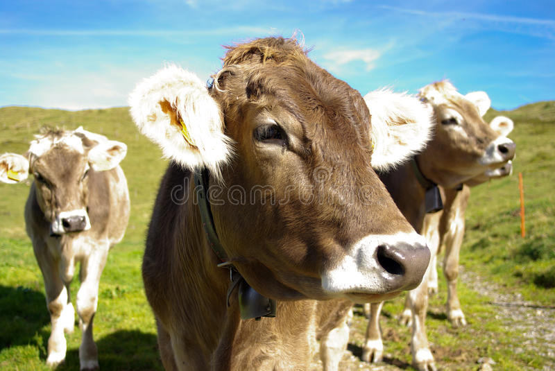 Cows in pasture royalty free stock photos