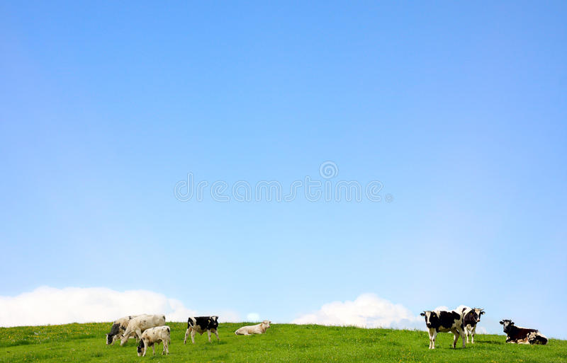 Download Cows on a pasture stock photo. Image of friesian, black - 28774420