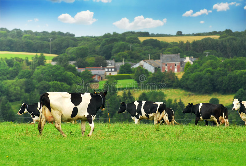 Cows in a pasture stock photo
