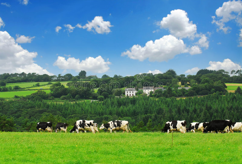 Cows in a pasture royalty free stock image