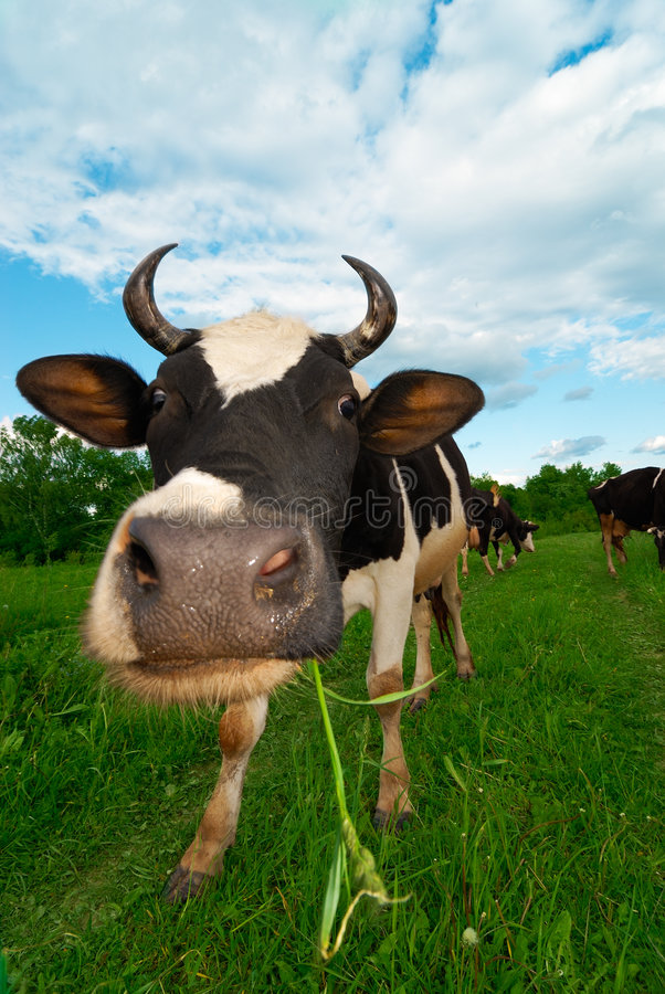 Cows on a pasture royalty free stock images