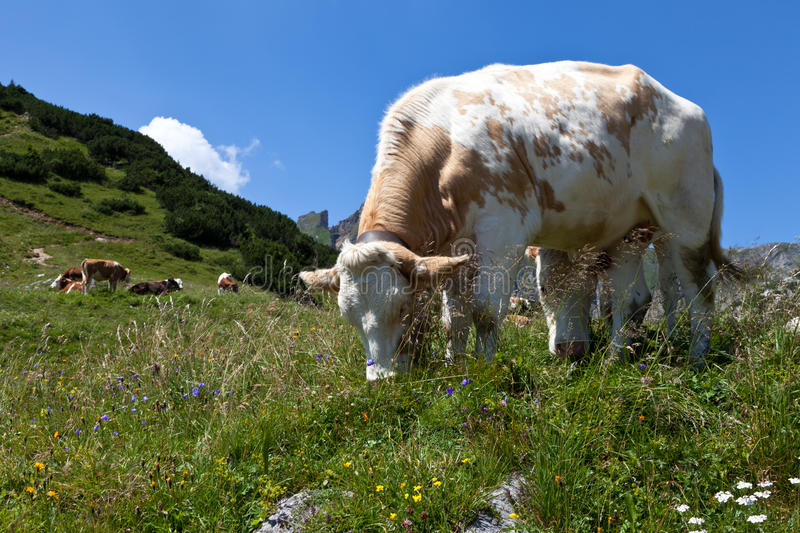 Cows On Pasture In The Alps, Austria Stock Photo