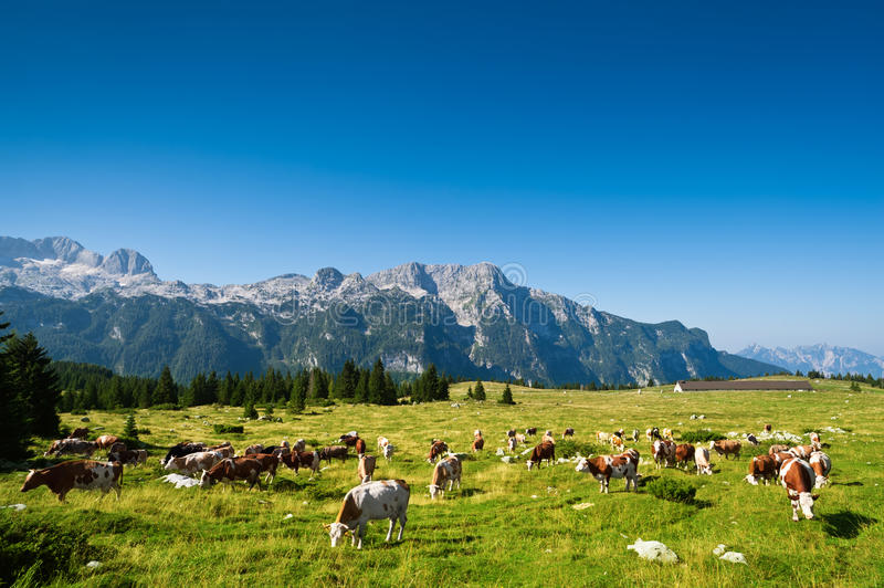Cows on pasture in beautiful mountain meadow. Of Montasio plateau, Sella Nevea, Italy royalty free stock image