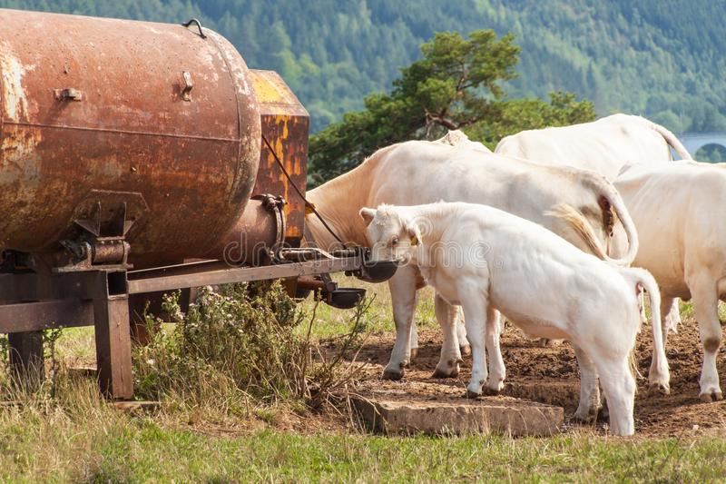 Cows on pasture drink water from the tank. Summer day at the farm in the Czech Republic. royalty free stock photos