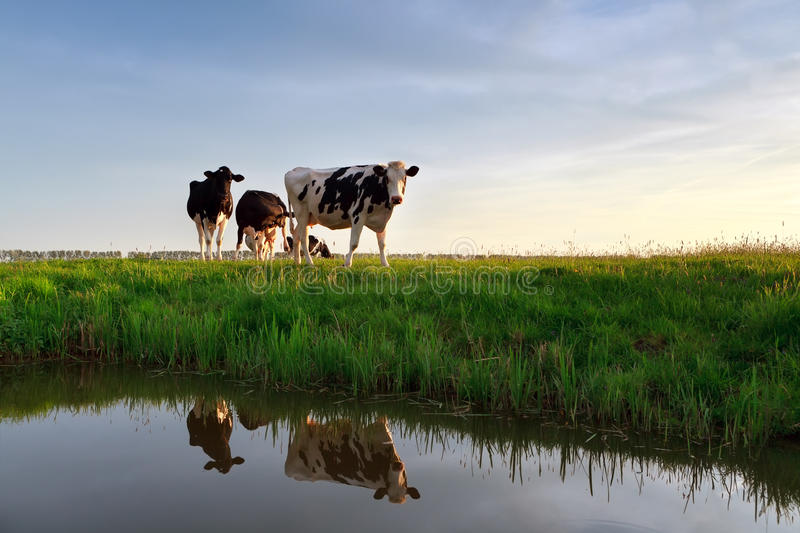 Cows on pasture reflected in river royalty free stock photography