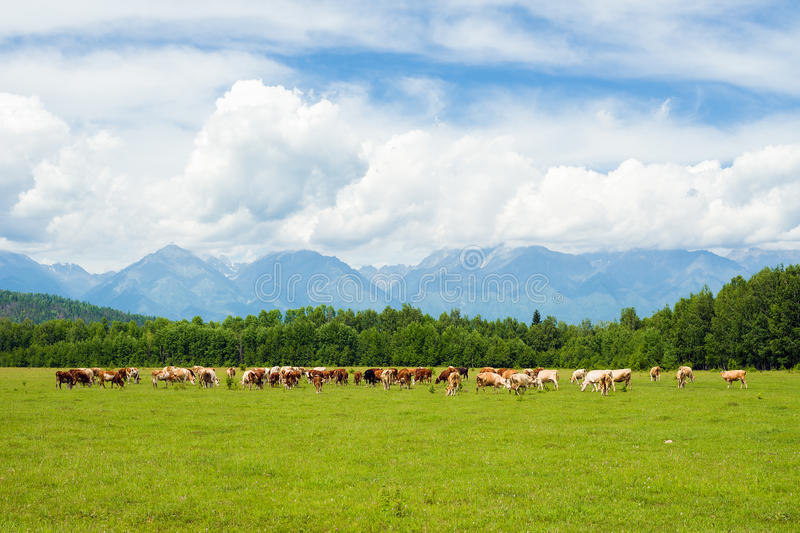 Cows in the pasture royalty free stock photography