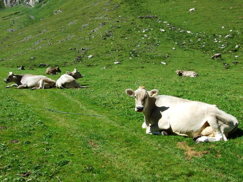 Cows and pastures on tableland mountain ranges Alpstein royalty free stock photos