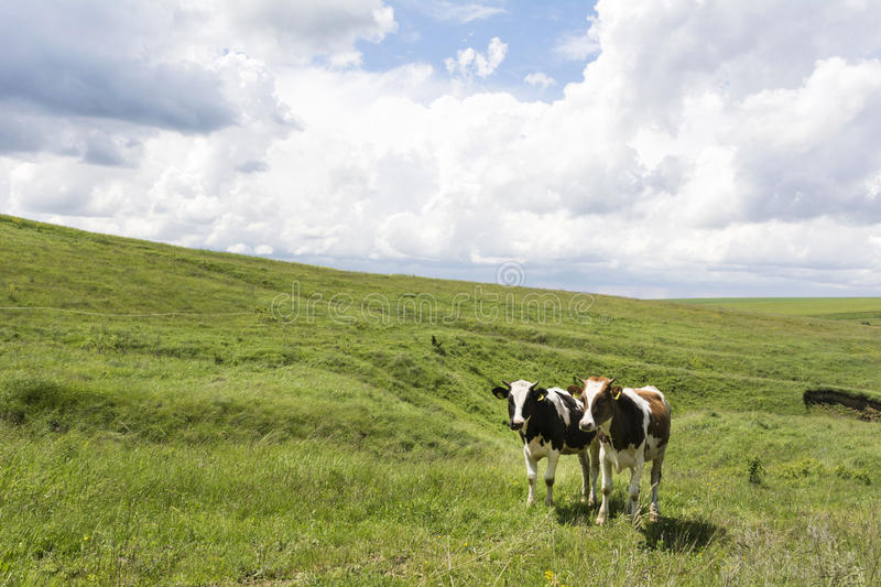 Cows Pasturing in Green Field stock images