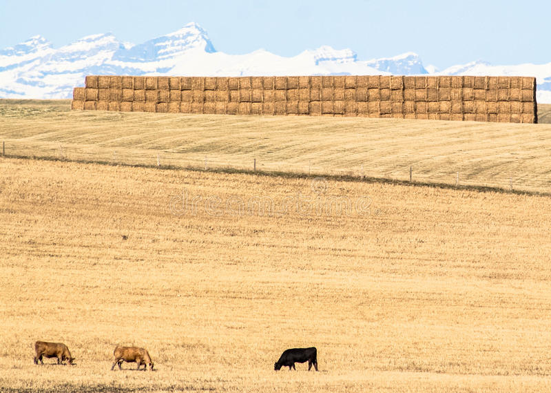 Cows in prairie, Alberta, Canada royalty free stock image