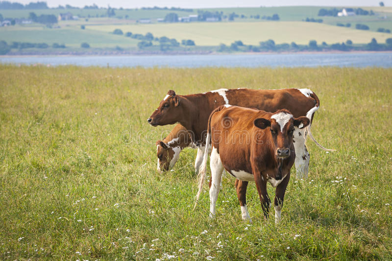 Cows in Prince Edward Island. Three Ayrshire cows grazing in field at Prince Edward Island, Canada stock photos