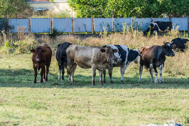 Cows in a ranch. Black, white and brown cattle in the shade are eating grass and relaxing in the field. Farm animals raised for livestock stock photo