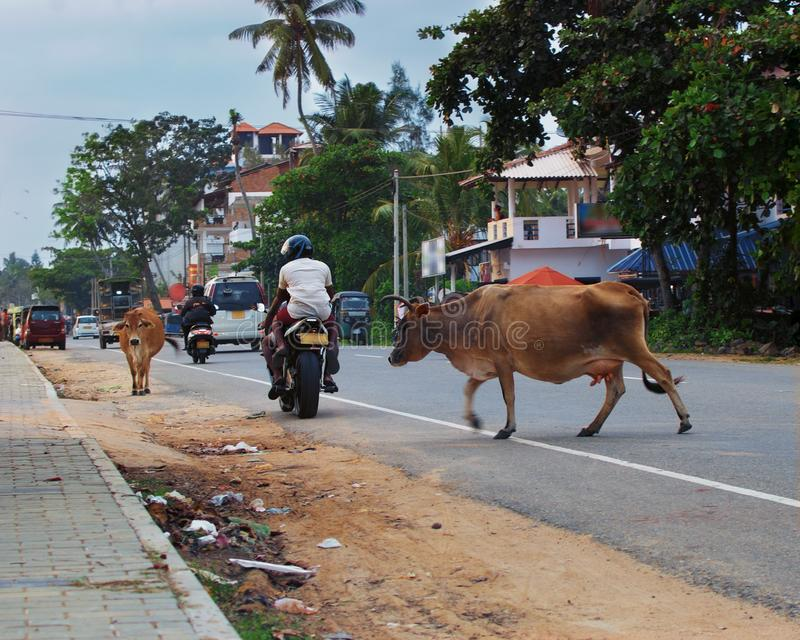 Cows randomly cross town road among traffic cars and motorcycles. Dangerous situation close up - cows randomly cross town road among traffic cars and stock photo