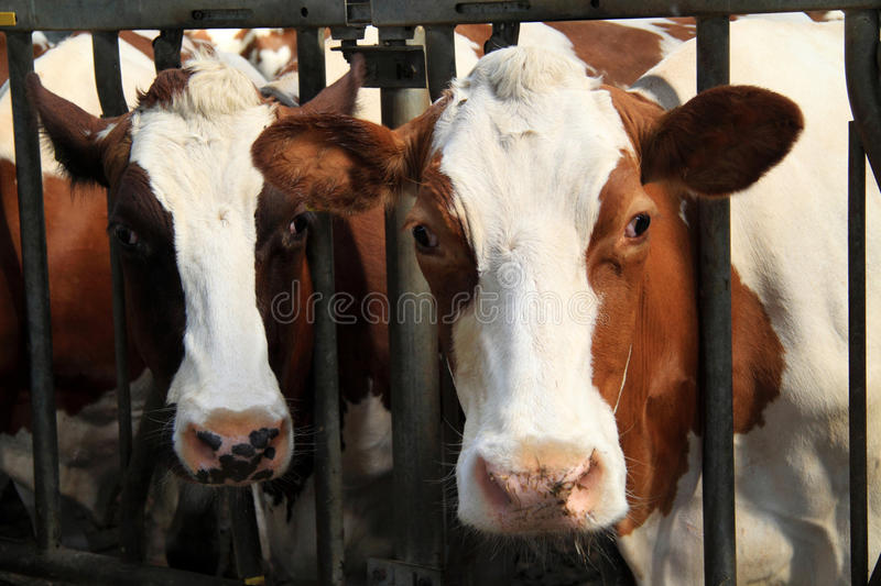 Download Cows Are Real Farm Animals Stock Image Of Chip