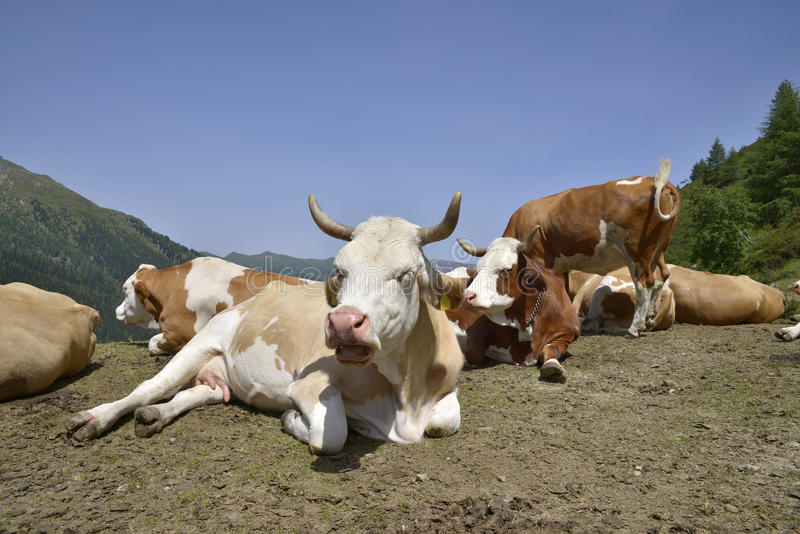 Cows Relaxing Stock Images