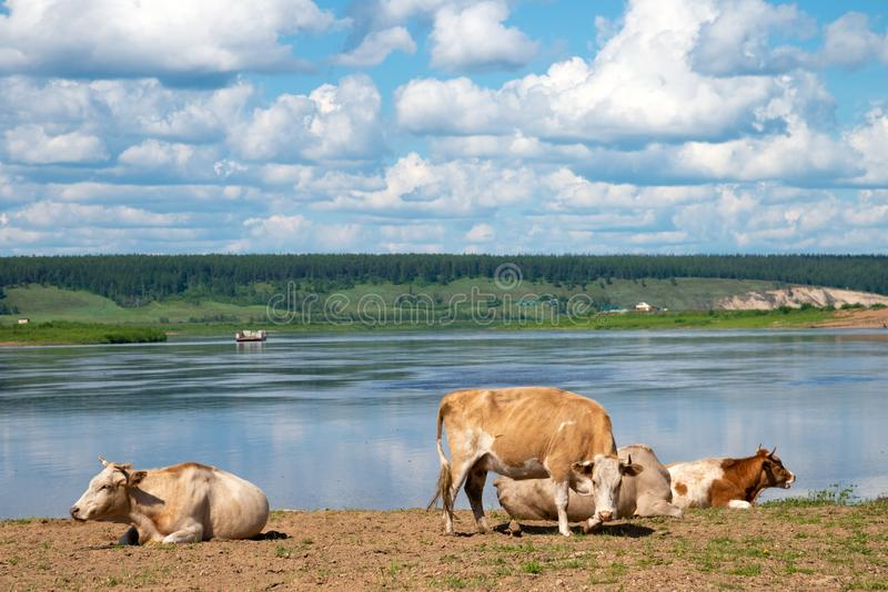 Cows relaxing, sleeping and grazing on a meadow next to a river stock photos