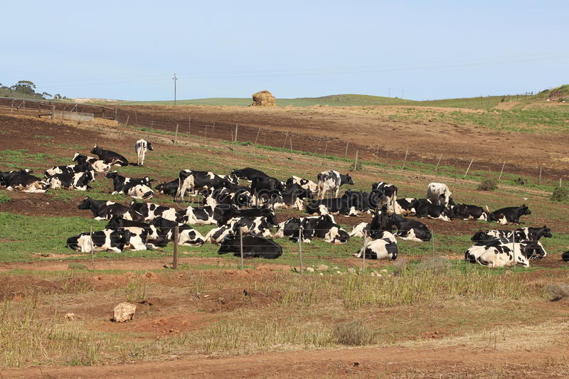 Cows at Rest stock photos