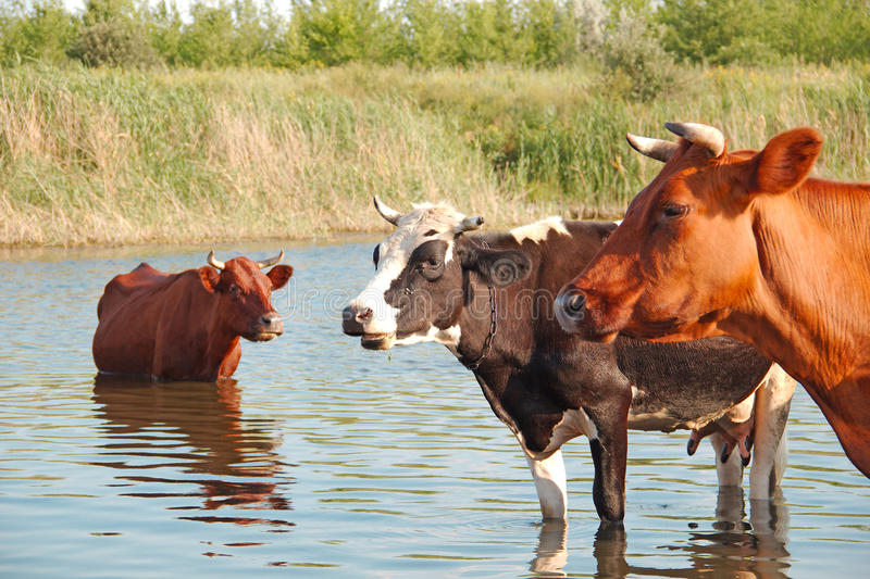 Download Cows in the river stock image. Image of park, green, farming - 25816699