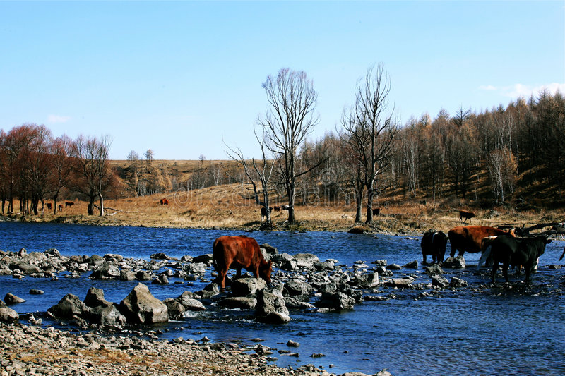 Cows and the river stock image