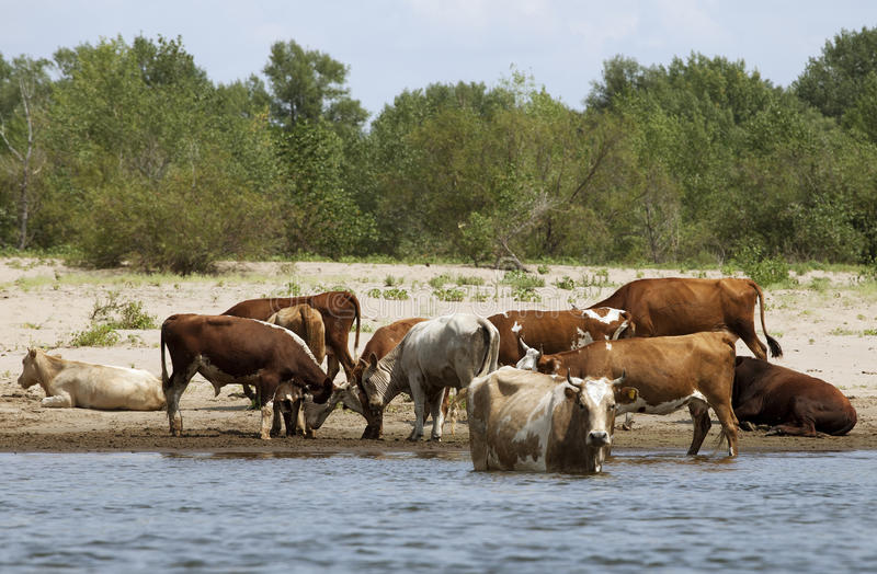 Cows at a riverbank. Cows drinking and swimming at a riverbank royalty free stock image