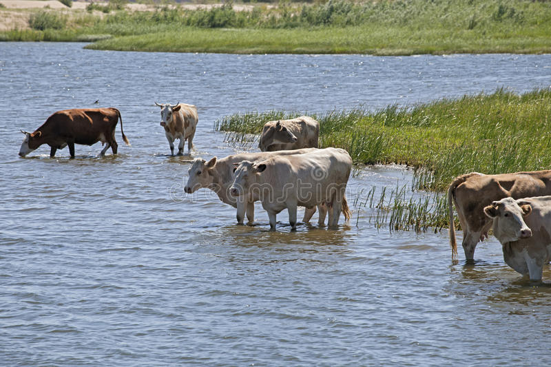 Cows at a riverbank. Cows drinking and swimming at a riverbank stock photo