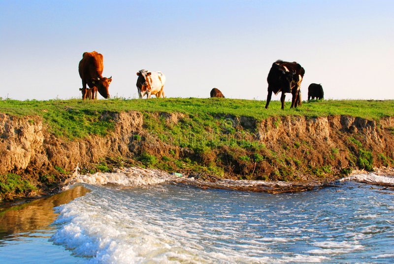 Cows on riverbank. A view from a passing boat of cows grazing on an open green pasture at a riverbank royalty free stock photos