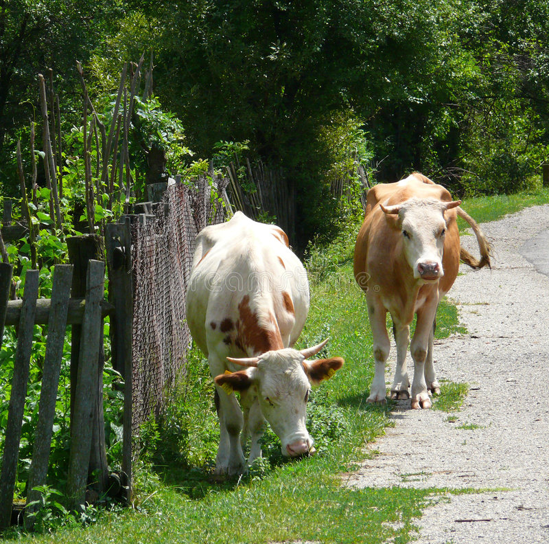 Cows at road side stock photography