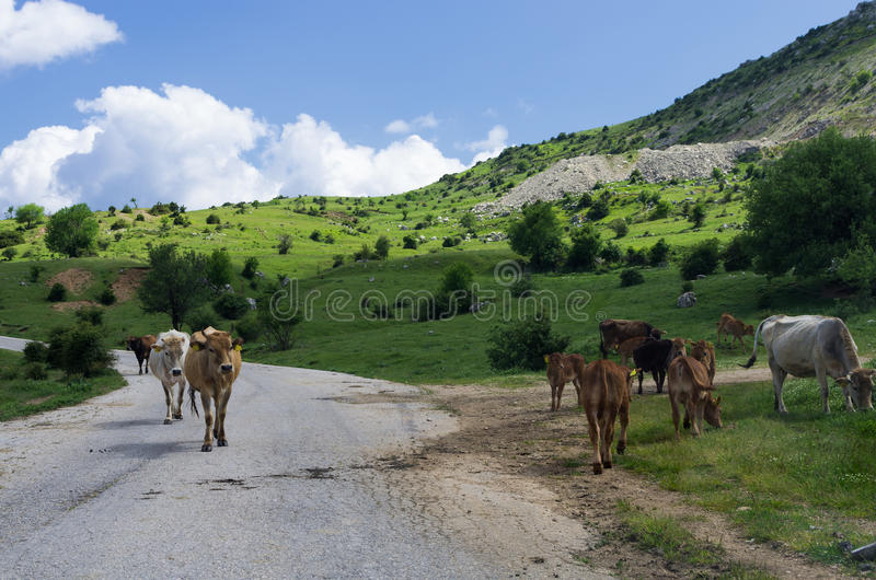 Cows by the road in Syrrako village, Epirus, Greece royalty free stock photo
