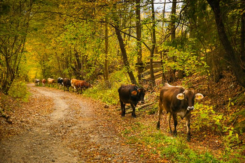 Cows on a rural road in Bucovina stock photography