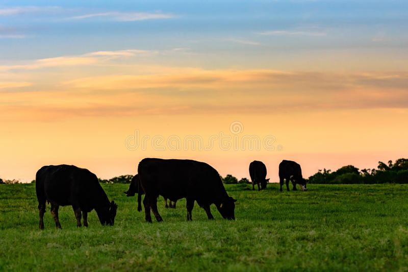 Cows in silhouette against colorful sky. Black Angus cows grazing in silhouette against a sunset sky royalty free stock photo