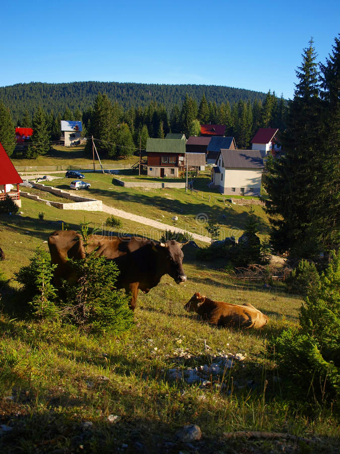 Cows on the slopes of Durmitor near Zabljak royalty free stock photo