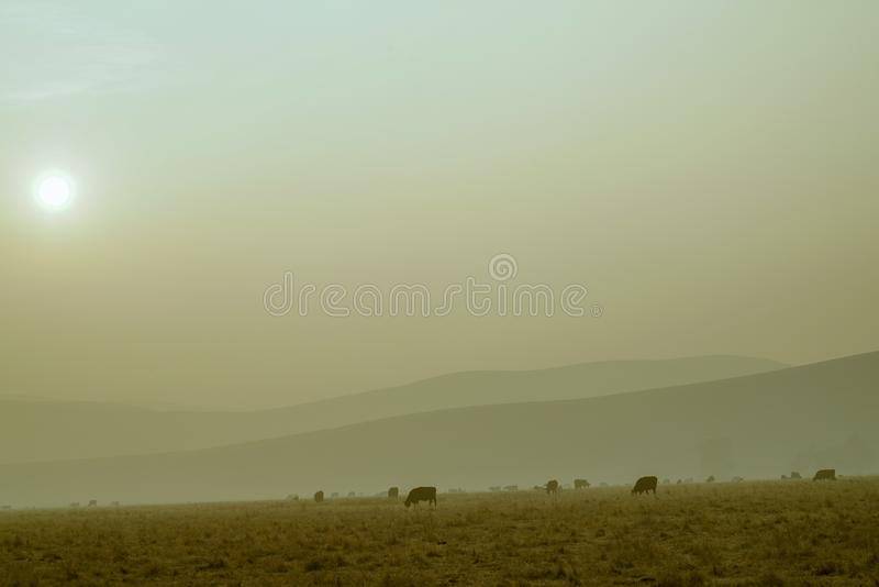 Cows in the Smokey Pasture stock photo