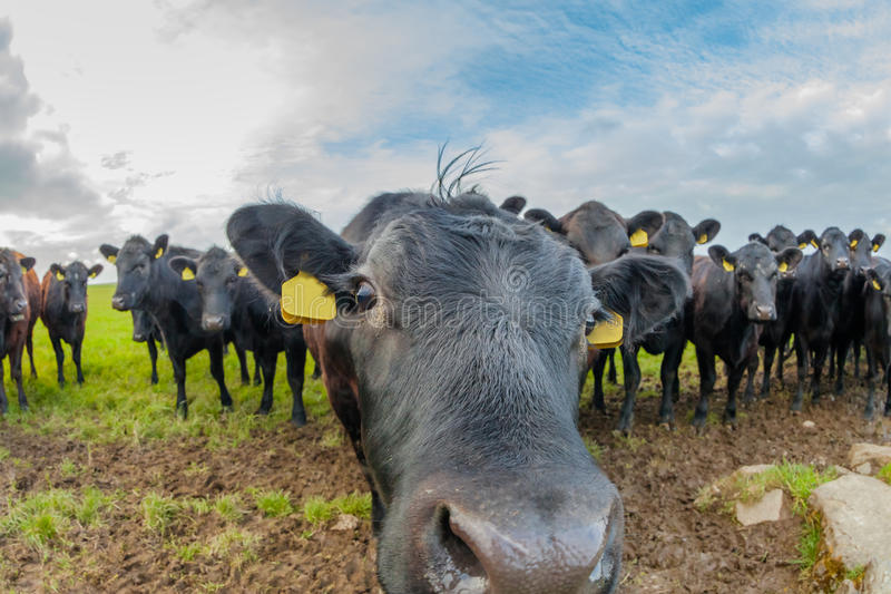 Cows sniffing each other royalty free stock photo