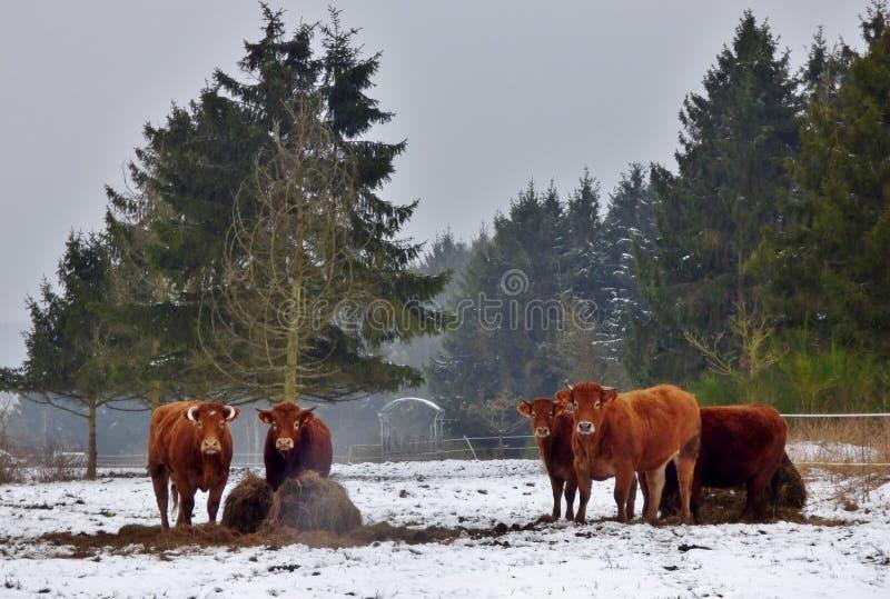 Cows Snow Landscape stock photography