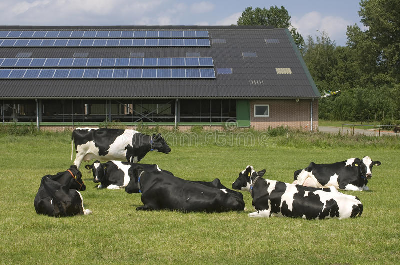 Cows and solar panels on a farm, Netherlands royalty free stock photography