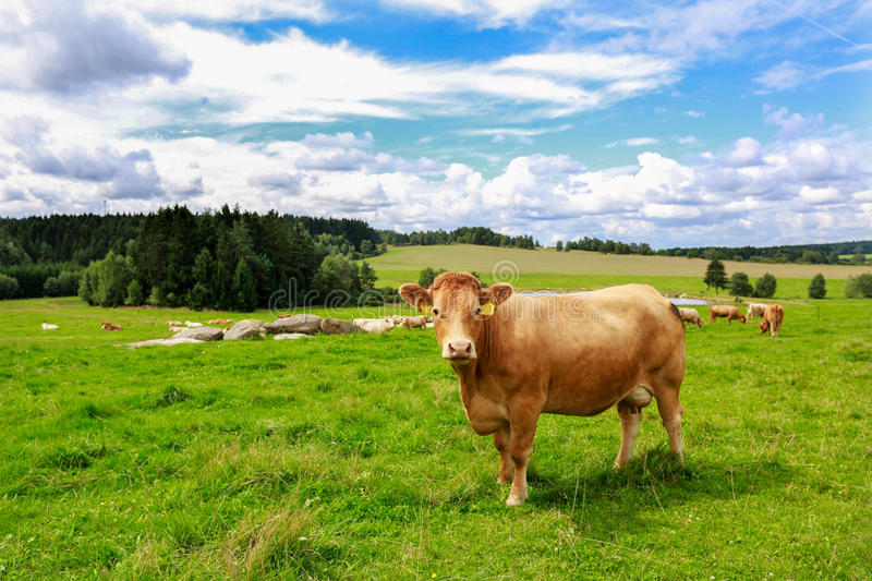 Cows in south Bohemia stock photography
