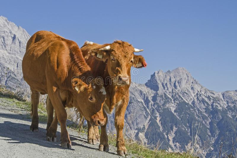 Cows in the Leonganger stone mountains. Cows spend the Summer in the hills on the high mountain meadows in Pinzgau royalty free stock images